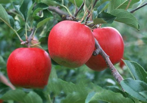 辟谣:满园皆是同种果树才能结出又好又多的果实?你知道哪些